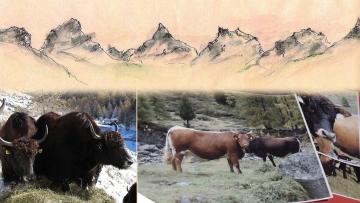 Yaks und Tuxer Rinder vor den Ötztaler Alpen